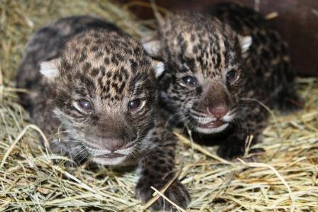 Brevard Zoo Welcomes 2 Jaguar Cubs