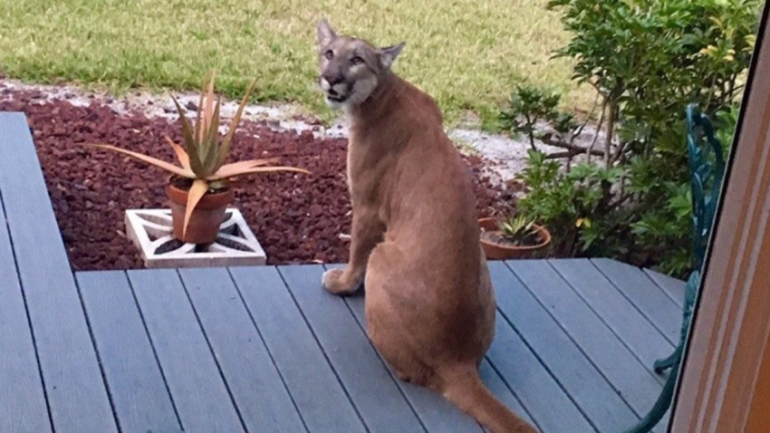 033016 florida panther on porch fort myers