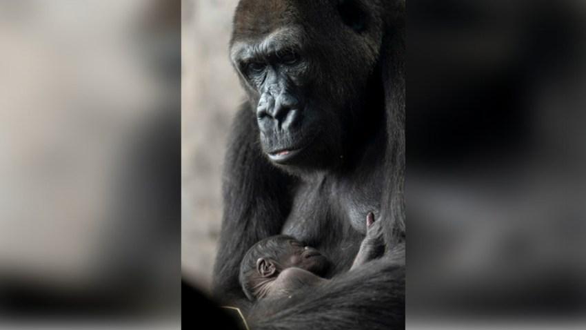 050219 grace disney world gorilla