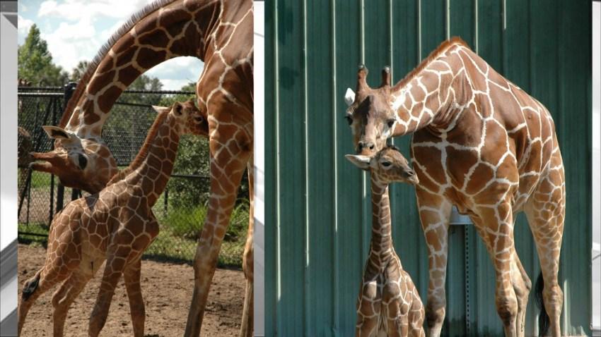 052616 baby giraffe jacksonville