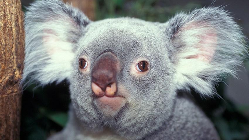 060115 danda-loo zoo miami koala