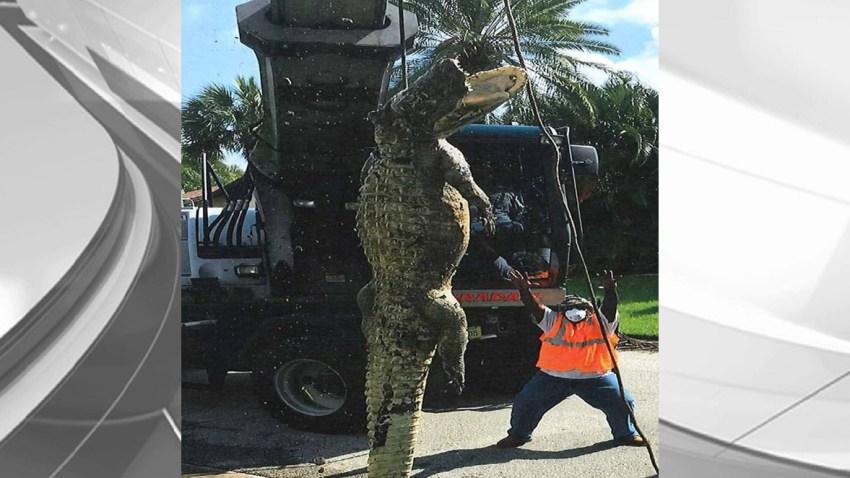 061416 giant alligator background