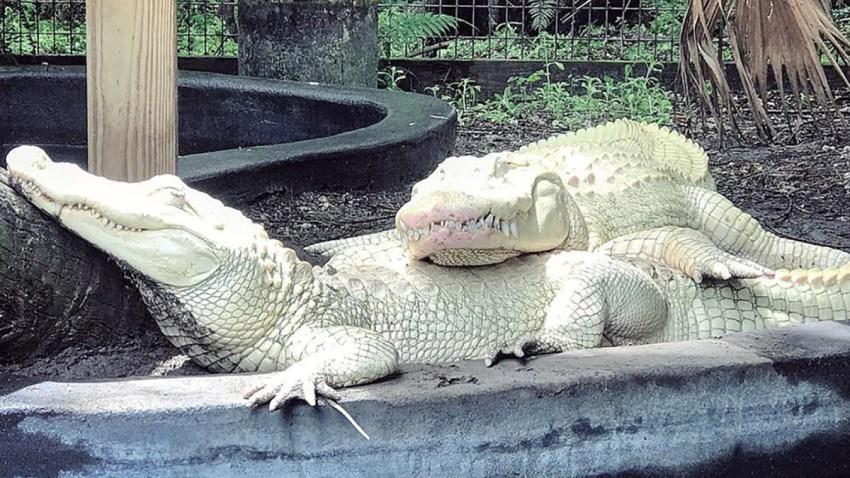 062719 albino alligators florida park