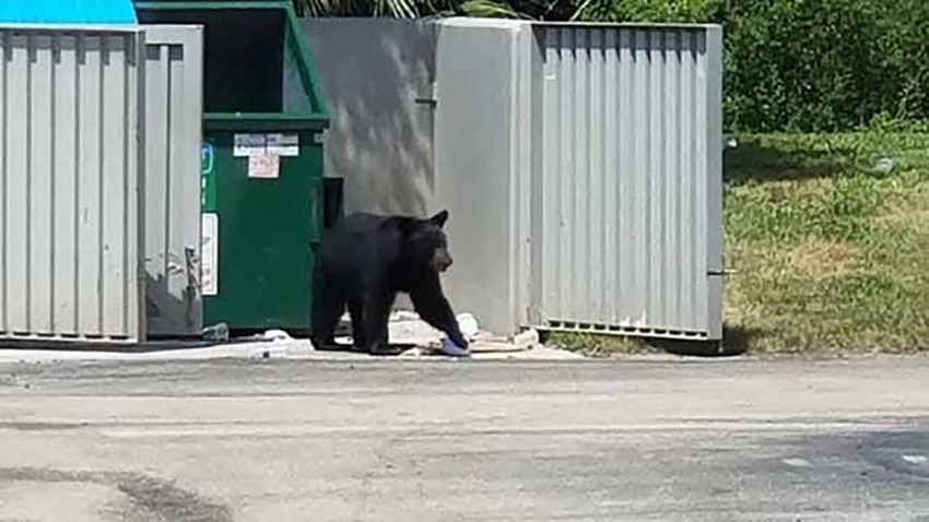 062819 bear at dumpster fort myers brewery