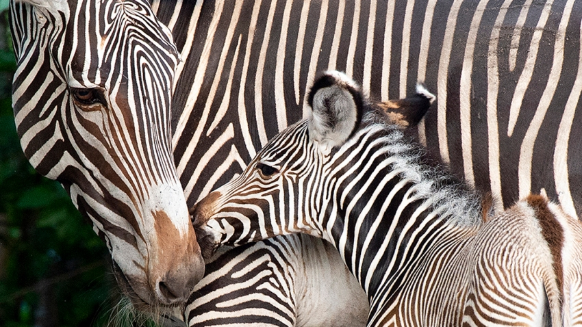 071119 Zoo Miami Baby Zebra 1