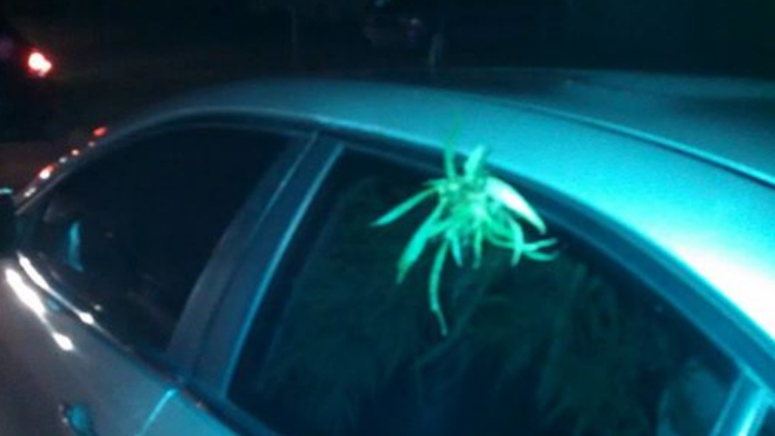 080714 clearwater police marijuana plant car window