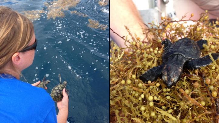 091213 seaworld sea turtle release