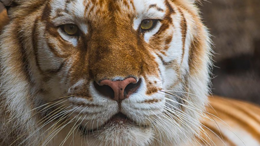 Tiger Dies At Busch Gardens Tampa After Altercation With Brother