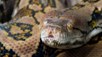 80 Reptiles Caught in 'Super Bowl Burmese Python' Hunt