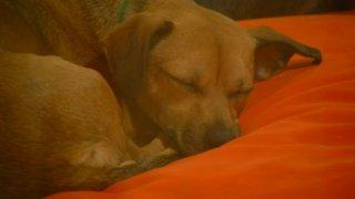 2-10-15-pet rent puppy sleeping dog