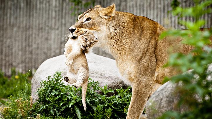 Denmark Zoo Lion Cubs