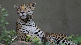 Alabama Jaguar