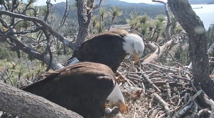 Big Bear Eagle Chickj