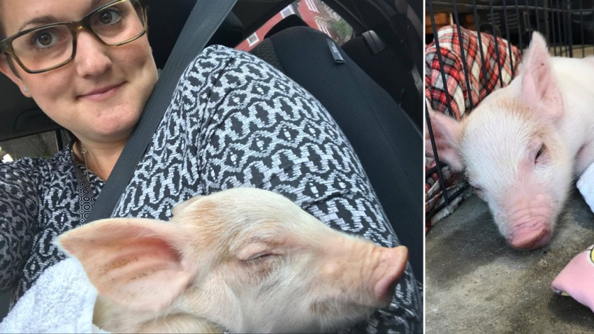 Enzo the pig