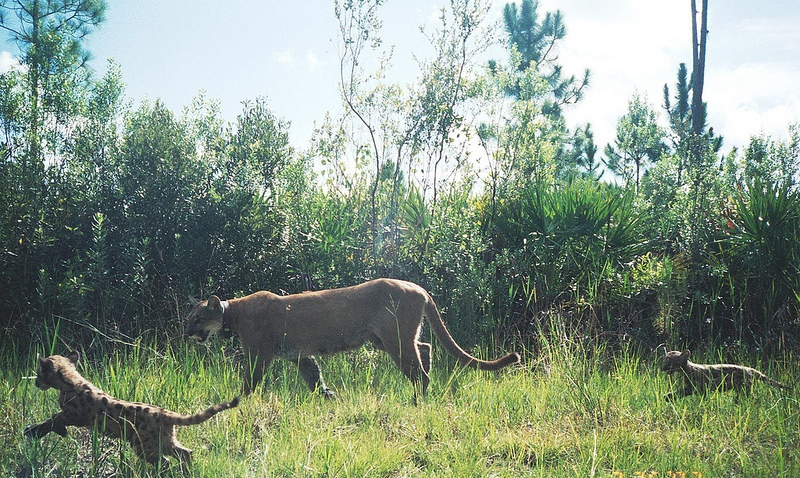 Florida Panther Mother with Kittens