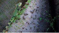 Look Out Below: Falling Iguanas in South Florida as Temperatures Dip, NWS Says