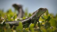 'Stand Your Ground' Defense Rejected in Florida Iguana Killing