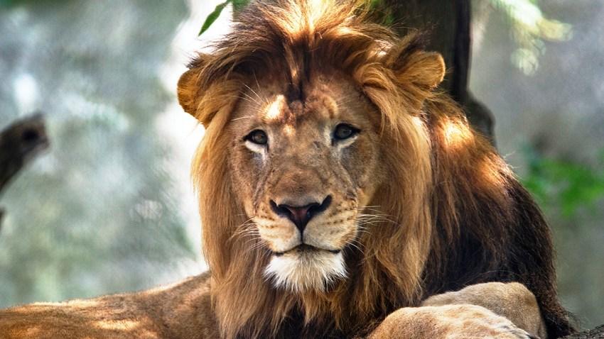 Lion Nyack2