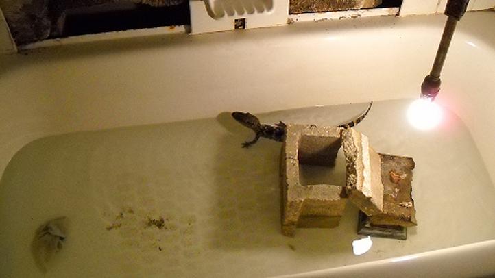 alligator in bathtub