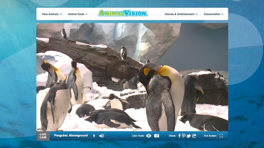animal vision penguins