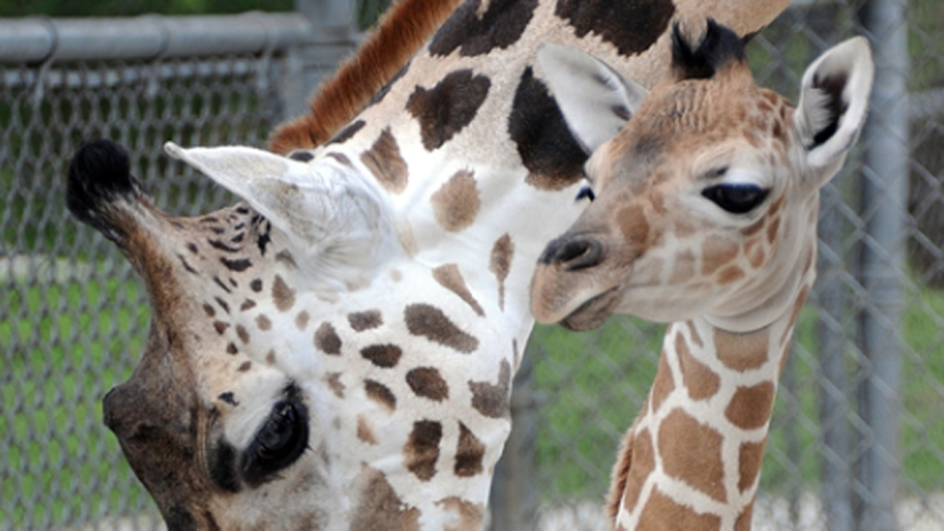 baby giraffe3