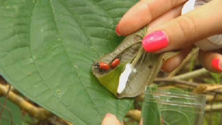 Lilioceris Cheni Beetle