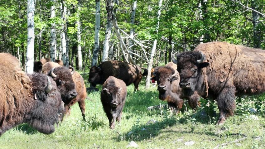 bison02835078364