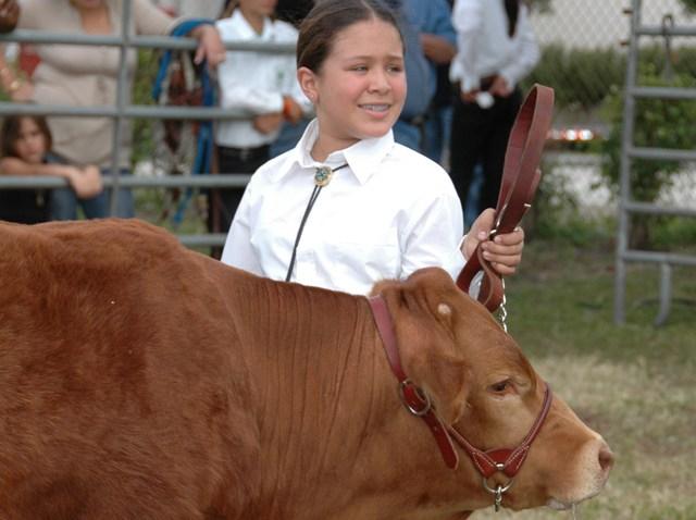 broward county fair cattleshow