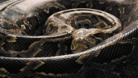Slithery Milestone: 5,000th Python Captured in Florida Everglades