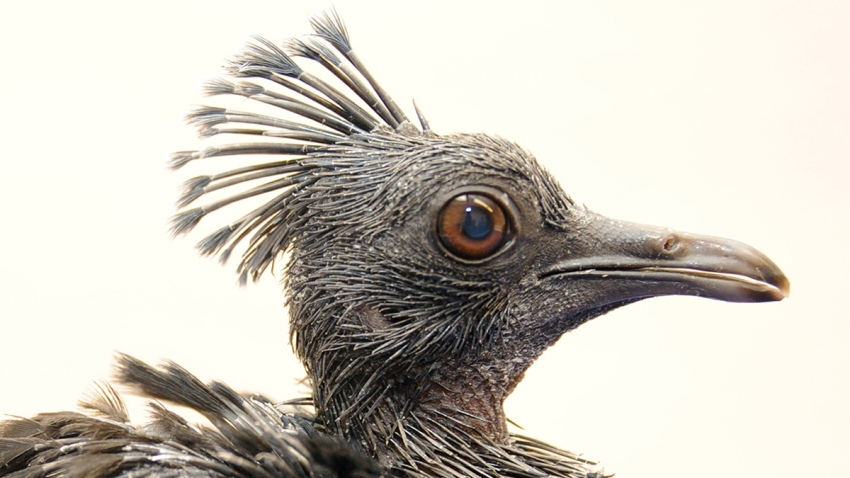 crowned pigeon thumbnail