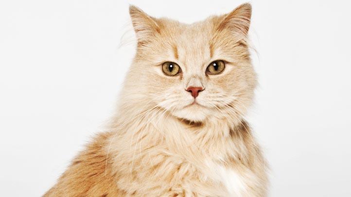 orange-and-white cat