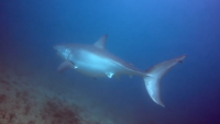 Close Call: Diver Encounters Great White Shark Off South Florida Coast