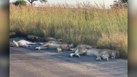 Lions Nap on Empty Road in South Africa Amid Pandemic