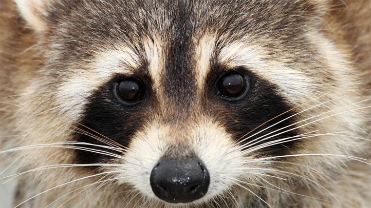 raccoon5