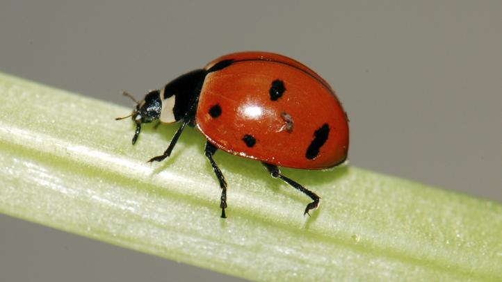 Lost Ladybugs Found