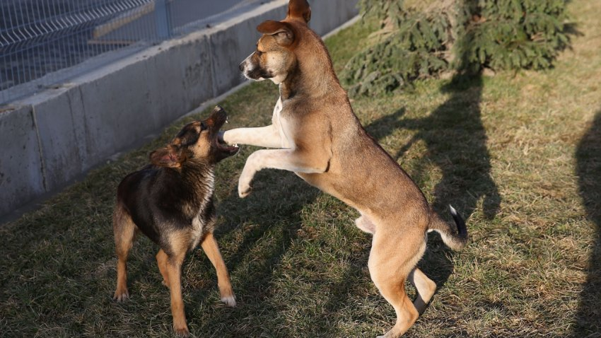 sochi-dogs-play