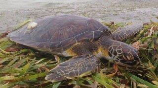 texas-sea-turtle-fb--(20)