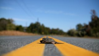 turtle in road 060416