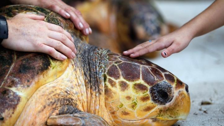 loggerhead turtle generic