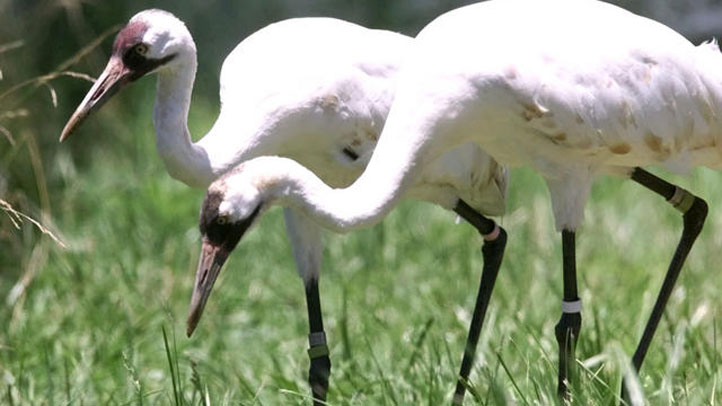 whooping-cranes-food722
