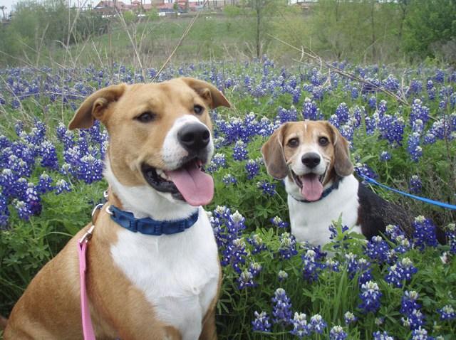 wyw dog bluebonnet