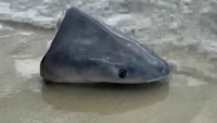 Man Finds Shark Head, Fins Washed Ashore on Florida Beach