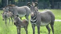 4 Endangered Grevy's Zebras Born at North Florida Wildlife Refuge