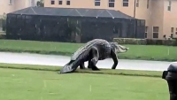 Gigantic Gator Strolls Along on Florida Golf Course