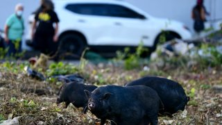 Feral Vietnamese pot-bellied pigs