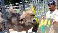 Zoo Miami Announces Death of Eastern Black Rhino Named Toshi