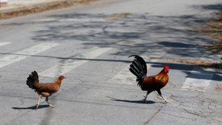 Key West is considering a law that would make it illegal to feed the chickens that freely roam the Southernmost City, such as those seen here in Sept. 13, 2017. City leaders are hoping an ordinance approved unanimously on a first reading Wednesday, Jan. 20, 2021 will help.