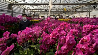 Pots of Phalaenopsis orchids appear at one of Hong Kong's largest orchid farms
