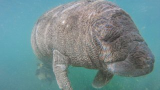 Tourists Swim With Manatees In Crystal River, Florida