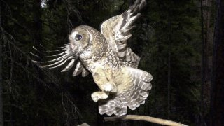 FILE - In this May 8, 2003, file photo, a Northern Spotted Owl flies after an elusive mouse jumping off the end of a stick in the Deschutes National Forest near Camp Sherman, Ore. A federal agency has enacted a plan to manage more than 2.2 million acres of land in western Oregon that would increase the potential timber harvest by as much as 37 percent. The plan immediately draws fire from both the wood-products industry and conservationists, with one group complaining that the new logging levels are still too low and another saying it endangers the Northern Spotted Owl and another protected bird.